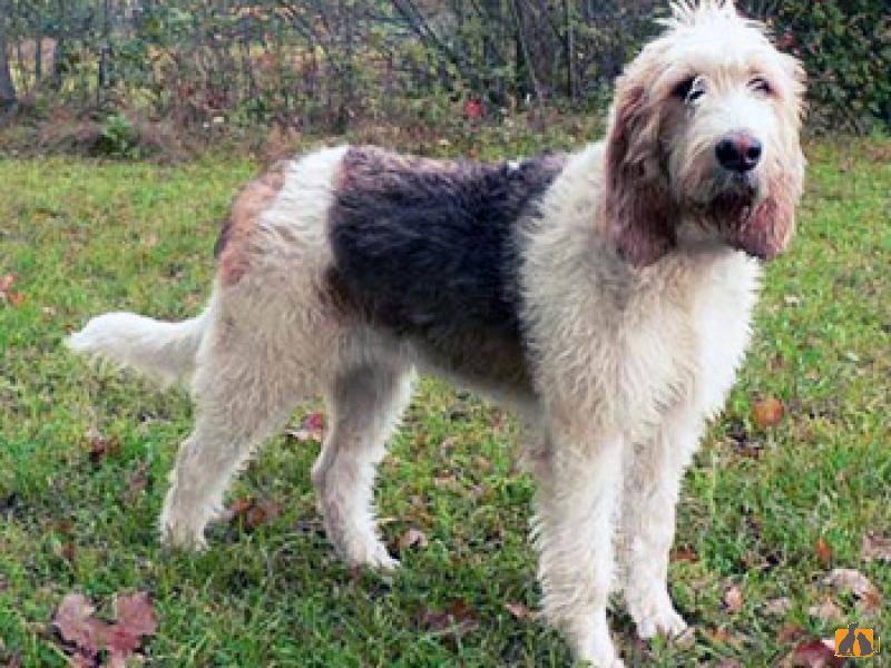 Оттерхаунд собака. описание, особенности, характер, уход и цена породы оттерхаунд