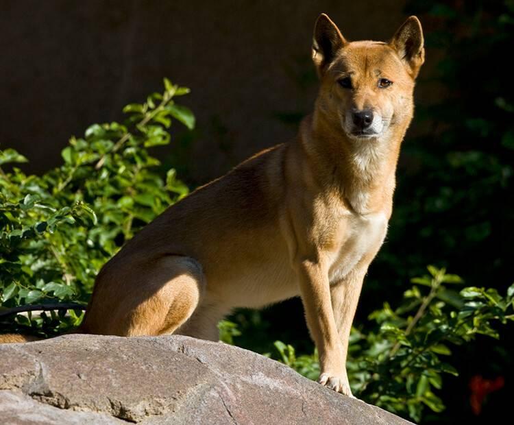 Новогвинейская поющая собака — википедия. что такое новогвинейская поющая собака