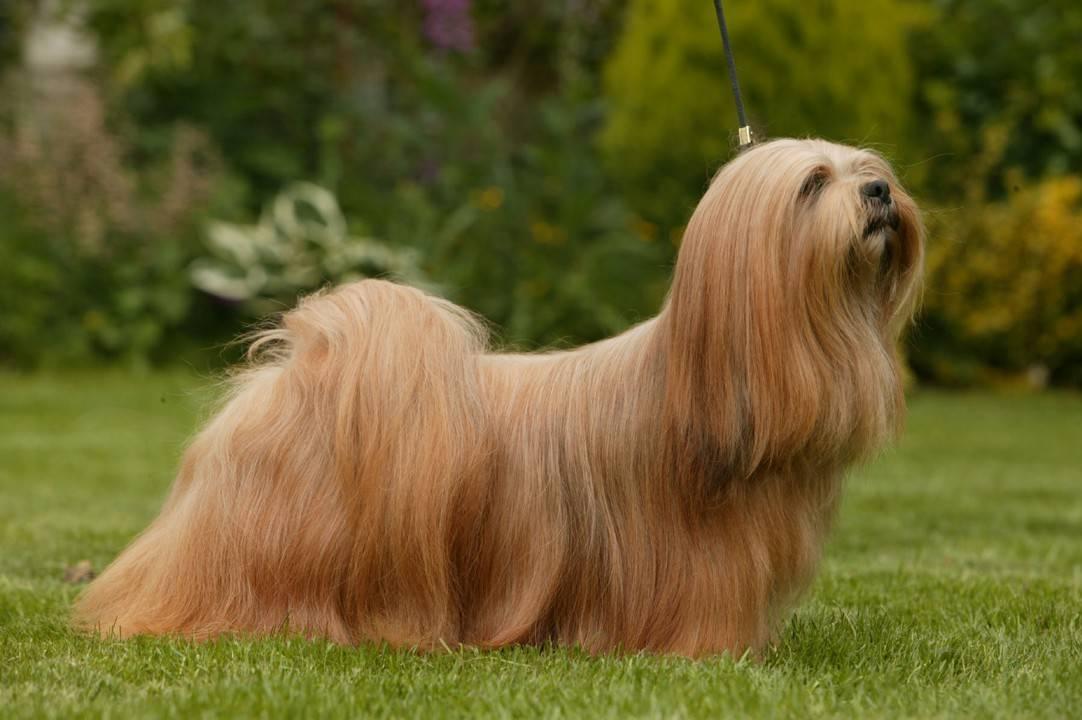 Лхаса апсо собака. описание, особенности, уход и цена лхаса апсо | sobakagav.ru