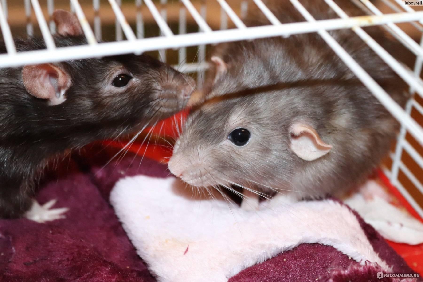Что делать если декоративная крыса кусается и как ее отучить
