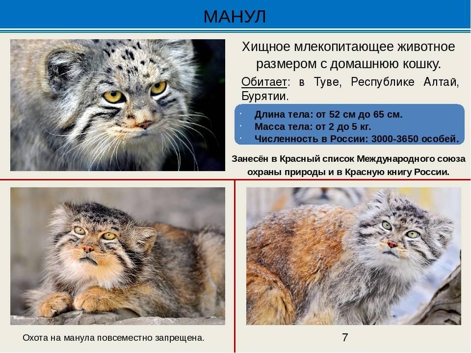Дикая кошка манул: фото, цена и описание животного