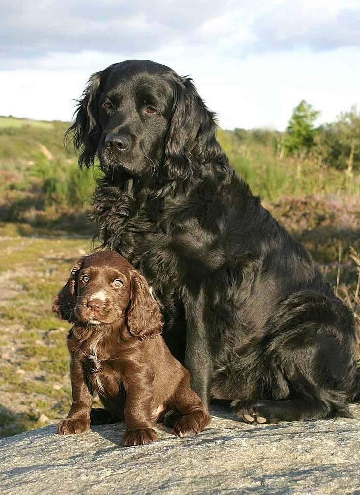 Американский кокер-спаниель: описание породы, характеристика собаки, различия, уход и содержание