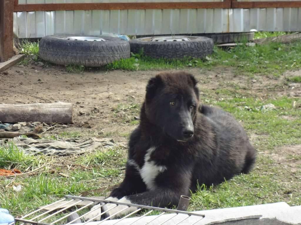 Анатолийская овчарка собака. описание, особенности, уход и цена породы
