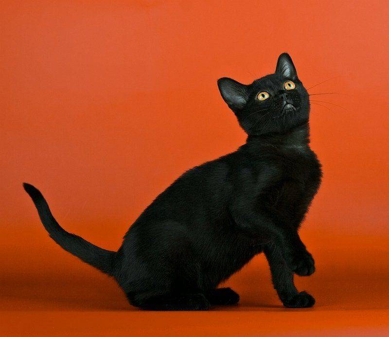 Бомбейская кошка: фото кота, цена, характер породы, внешние стандарты, разведение, выбор котенка, отзывы владельцев