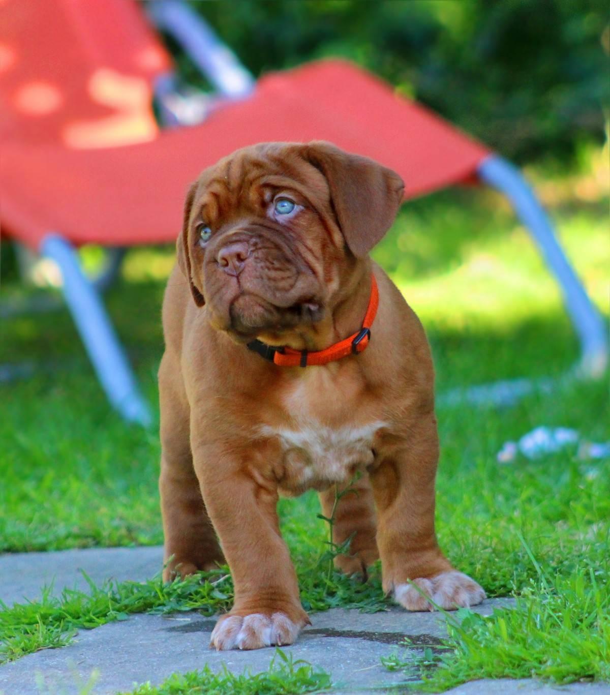 Особенности внешнего вида французской породы собак бордоский дог