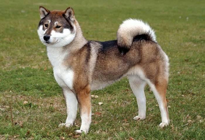 Wikizero - сикоку (порода собак)