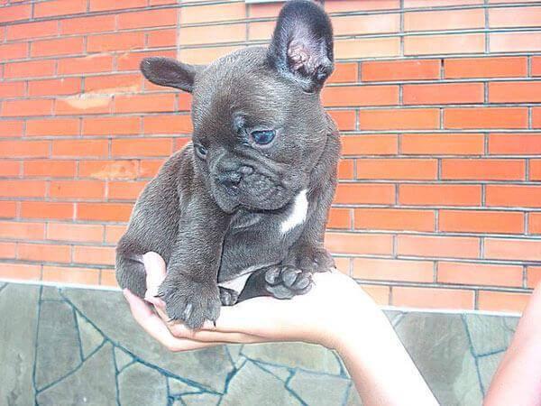 Французский бульдог: описание породы, характер собаки и щенка, фото, цена