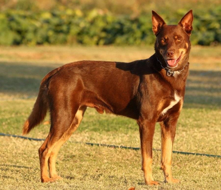 Австралийский келпи: описание породы собак с фото и видео
