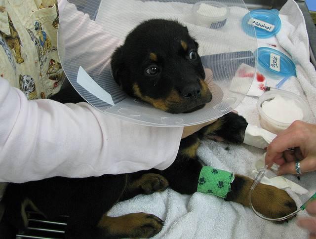 """Гастроэнтерит у собак - вирусный гастроэнтерит, симптомы, лечение в москве. ветеринарная клиника """"зоостатус"""""""