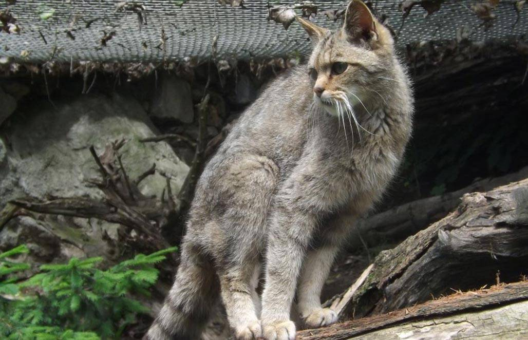 Китайская кошка