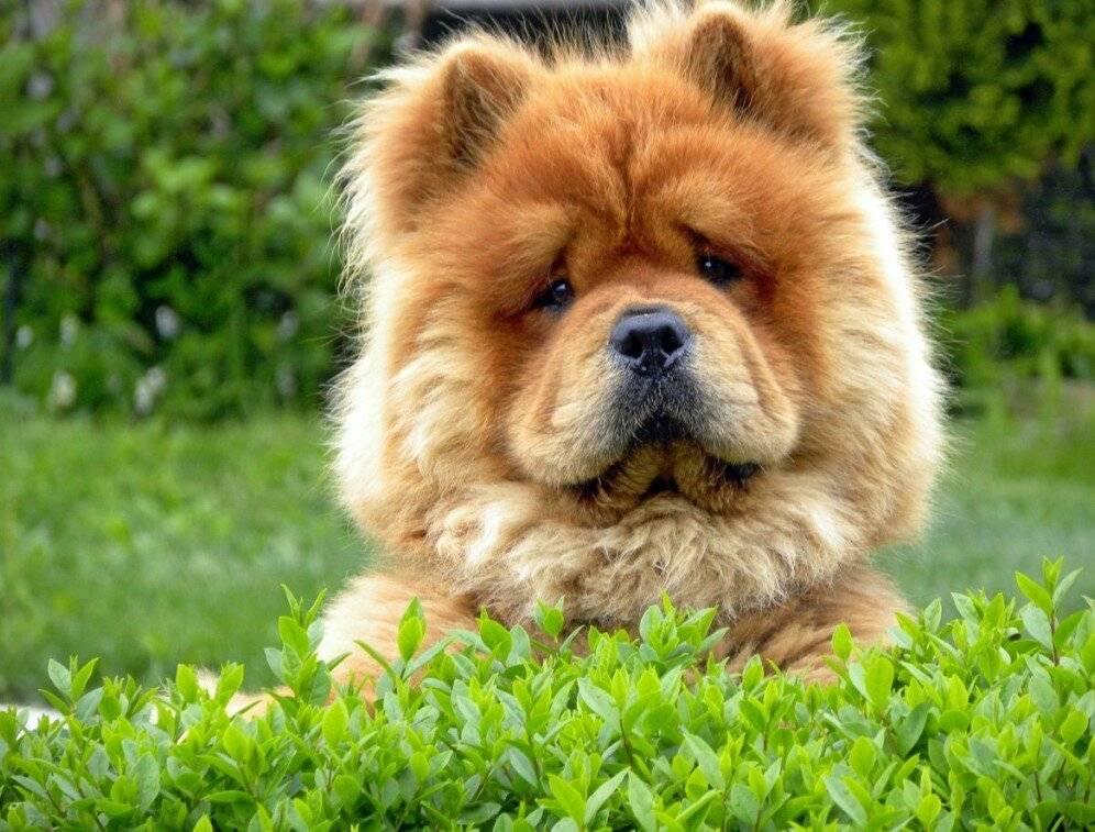 Собака чау-чау: характер, описание, характеристики и особенности поведения (110 фото)