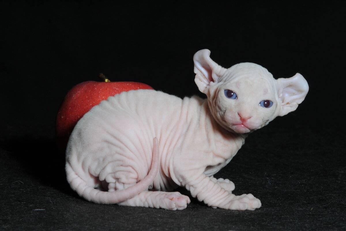 Порода лысых кошек кохана