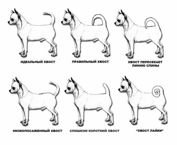 Все о милой собачке чихуахуа