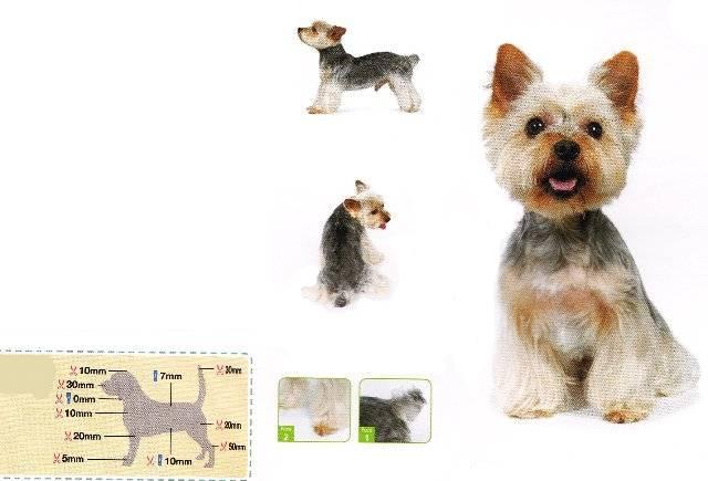 Йоркширский терьер – маленькая собака с сердцем льва