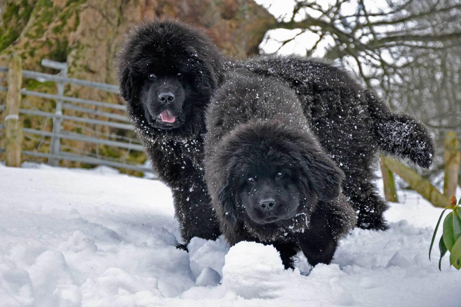 Порода собак ньюфаундленд — верный друг и отважный спасатель (фото): описание, характер, уход