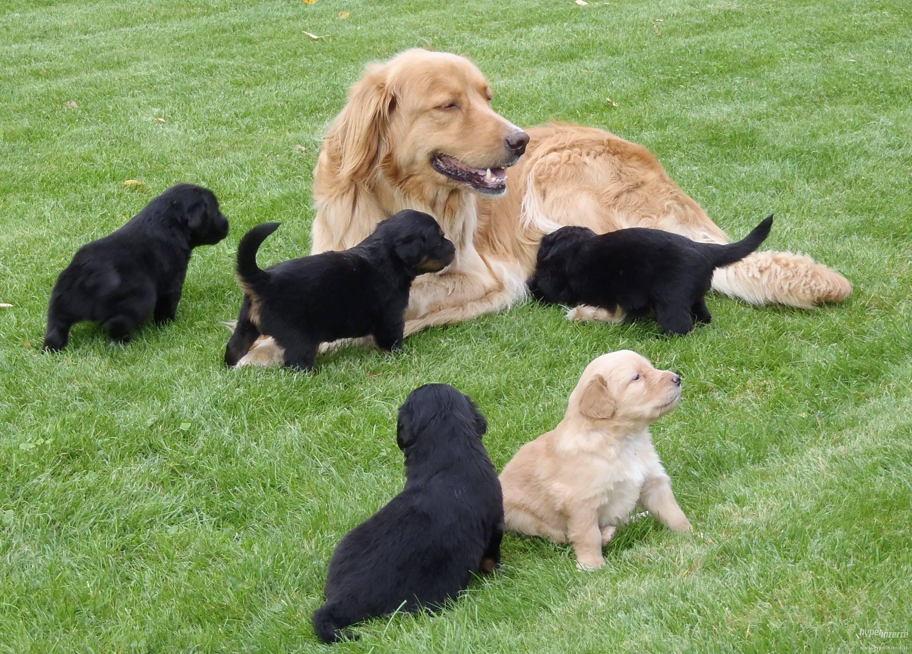 Описание породы и характера золотистый ретривер, особенности ухода за собакой