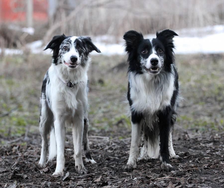 Бордер-колли - описание породы собак, происхождение, стандарт породы, содержание, характер