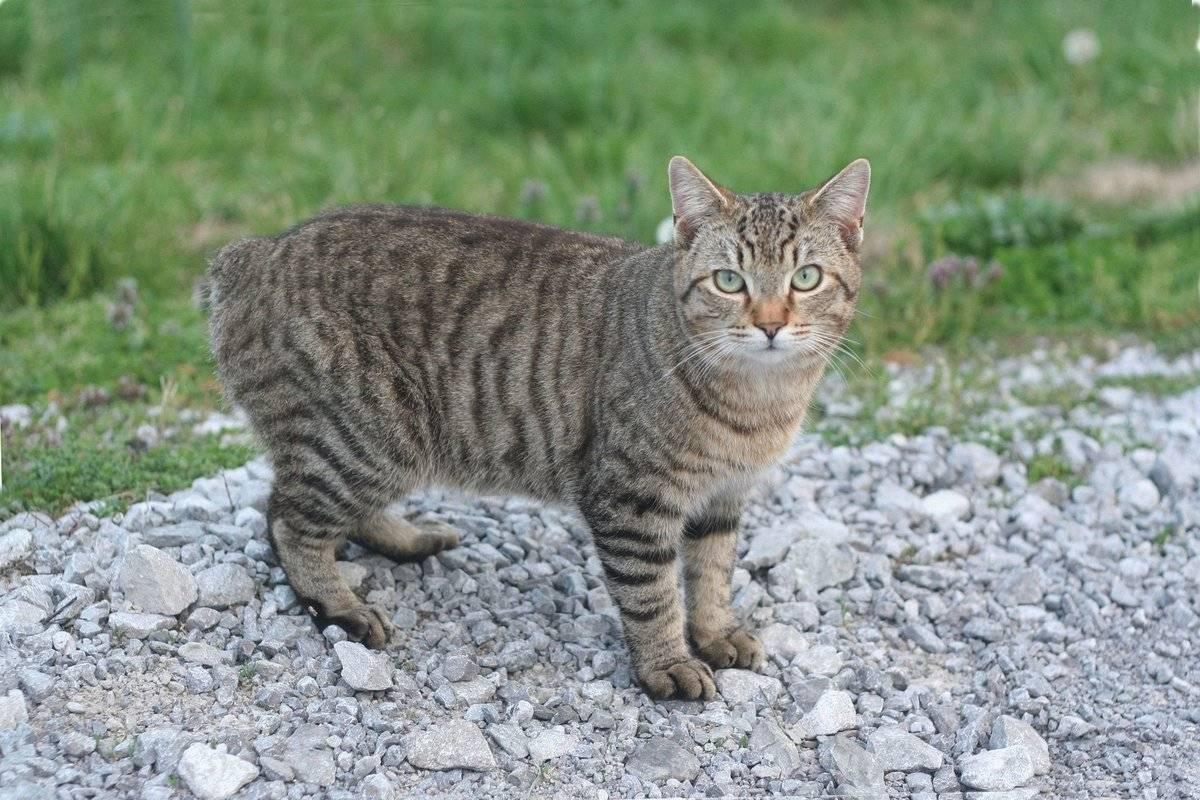 Обзор пород кошек без хвоста: описание и фото