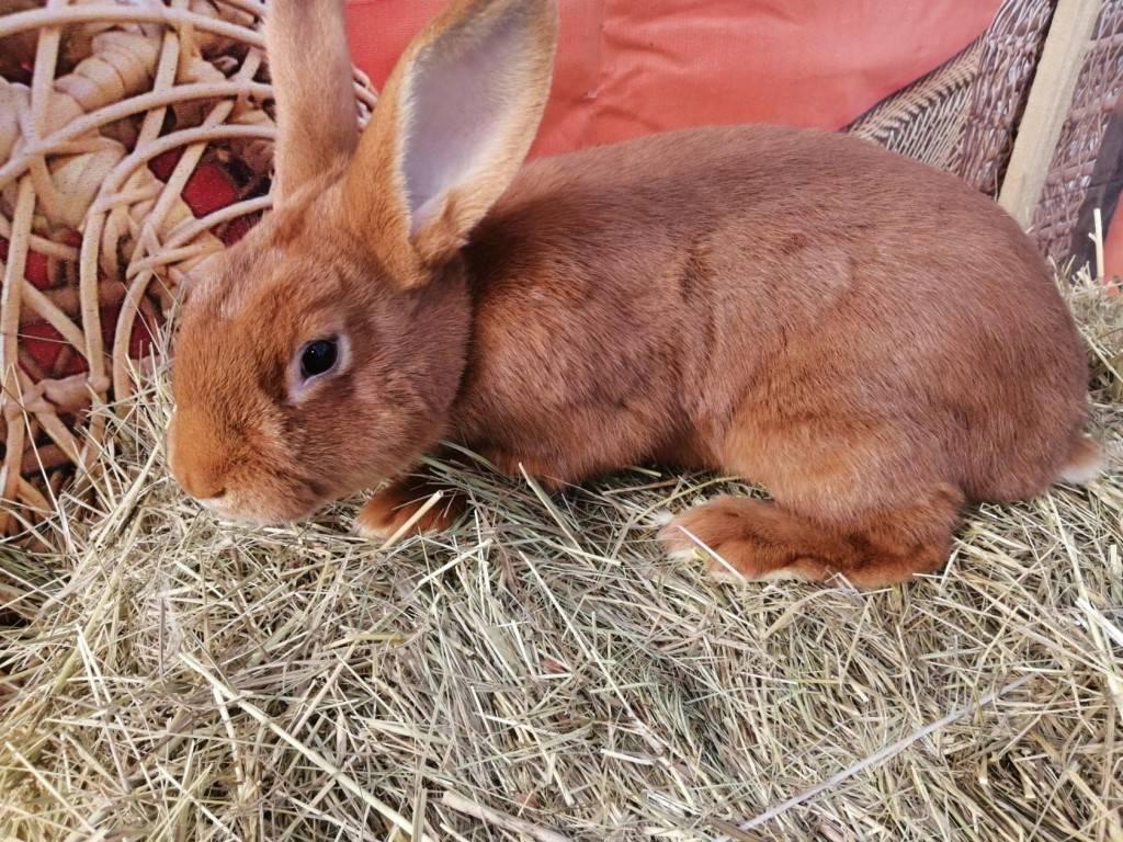 Новозеландский красный кролик: описание и характеристика породы