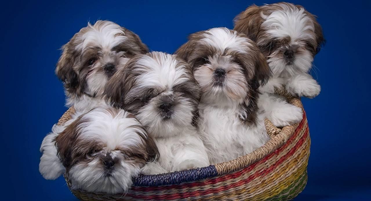 Привила содержания собак породы шитцу, их цена шиц и их фото