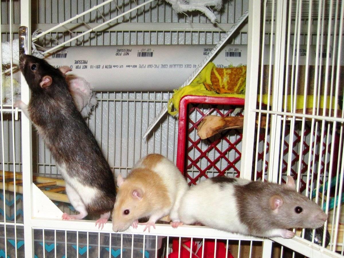 Мышь как домашнее животное