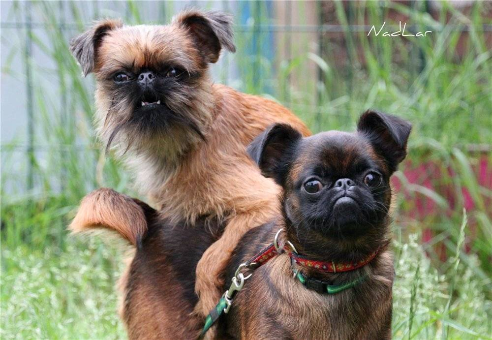 Брюссельский гриффон собака. описание, особенности, уход и цена породы | sobakagav.ru