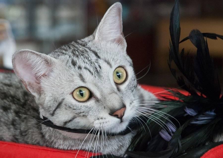 Египетская мау: описание породы, уход и содержание кошки