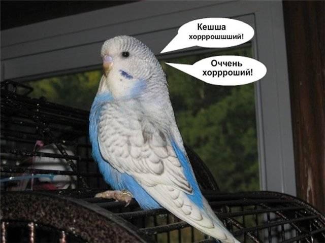 Как научить волнистого попугая мальчика разговаривать за 1 день