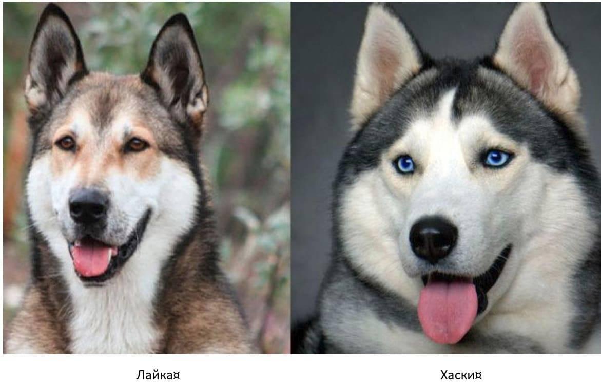 Похожие на хаски собаки: какие это породы, как они выглядят, какие у них имеются особенности, что есть общего и в чем отличия