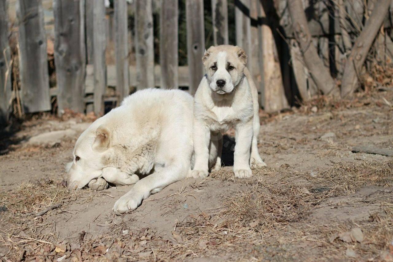 Среднеазиатская овчарка (алабай, туркменский волкодав): фото, купить, видео, цена, содержание дома