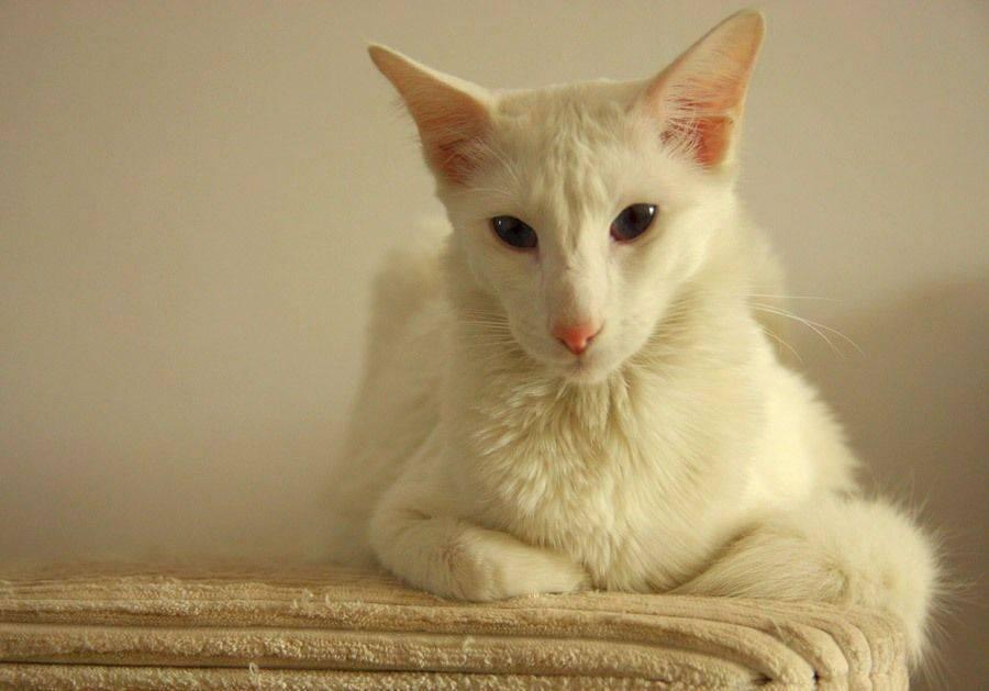 Кошка форин вайт 10 фото с описанием, цена котенка