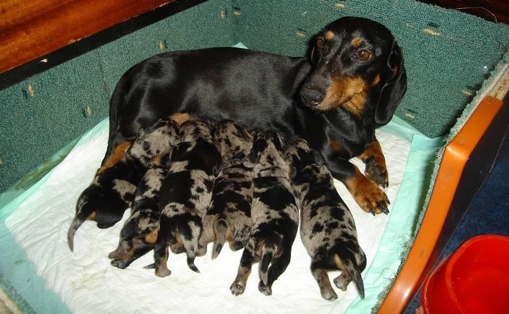 Чем и как кормить щенка: примерное меню, рацион в зависимости от возраста