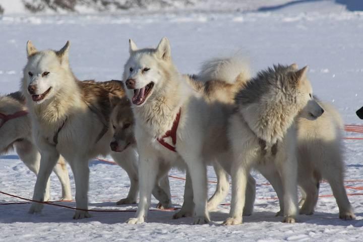 Гренландская собака (гренландсхунд): фото, купить, видео, цена, содержание дома