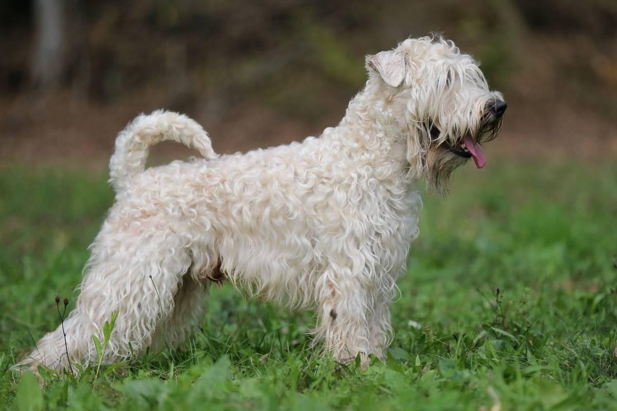 Пшеничный терьер (ирландский мягкошёрстный пшеничный терьер): описание породы, характер собаки, уход, содержание и воспитание