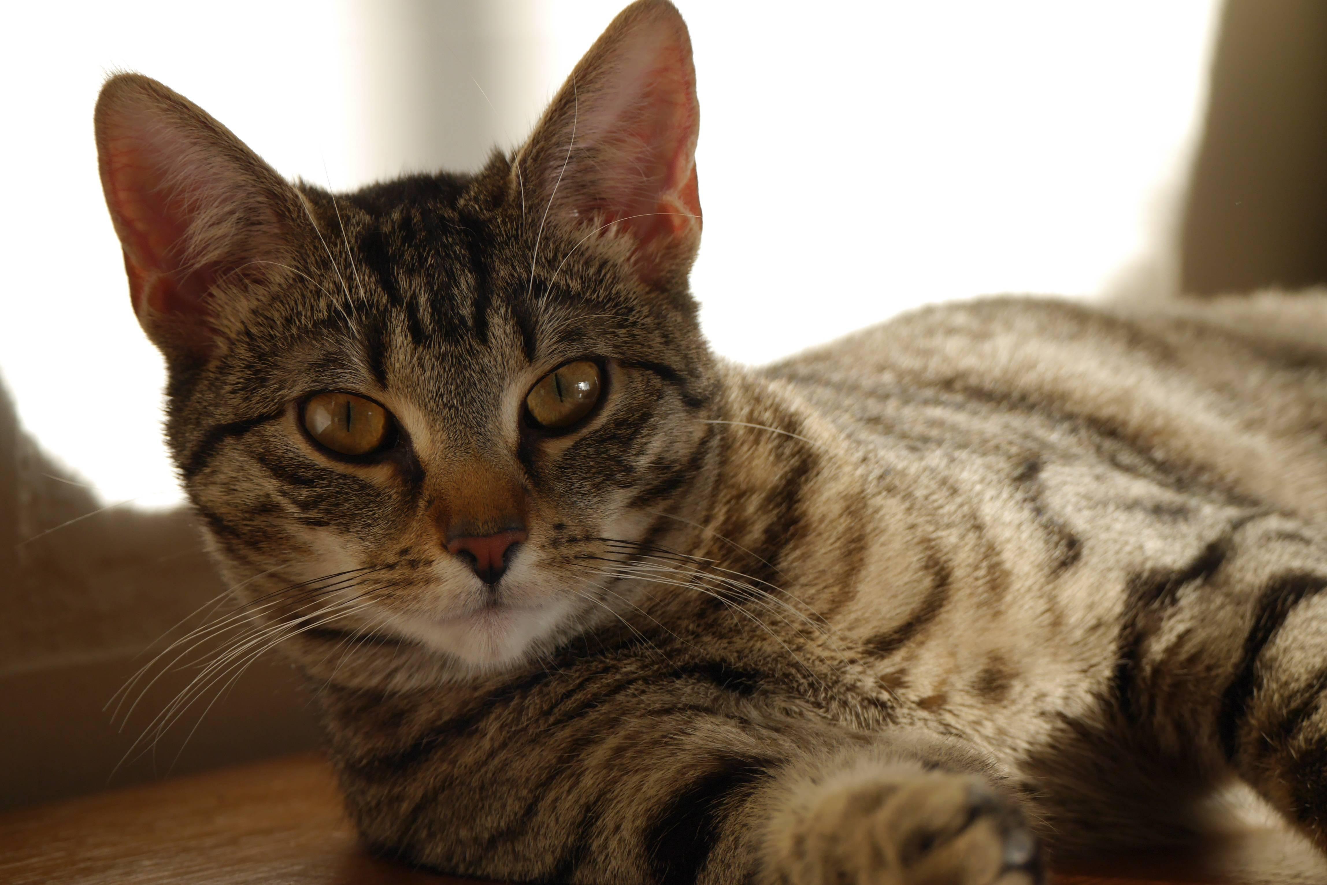 Азиатская табби: фото кошки, цена, характер породы, описание, видео азиатская табби: фото кошки, цена, характер породы, описание, видео