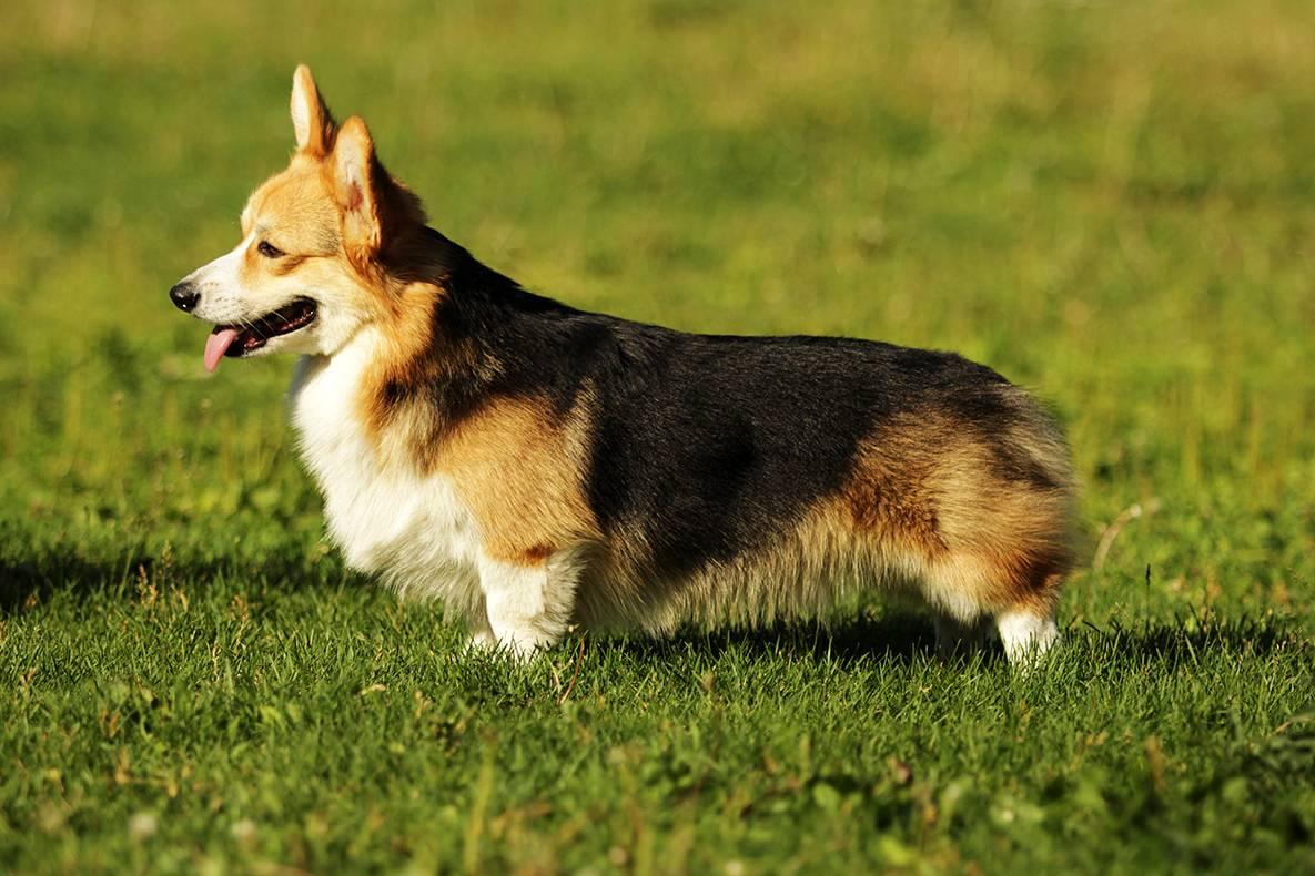 Вельш-корги — фото, описание породы собак