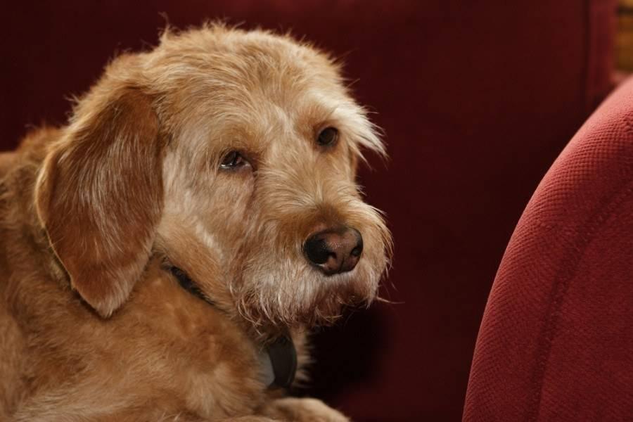 Бассет хаунд собака. описание, особенности, виды, уход и цена породы бассет хаунд | живность.ру