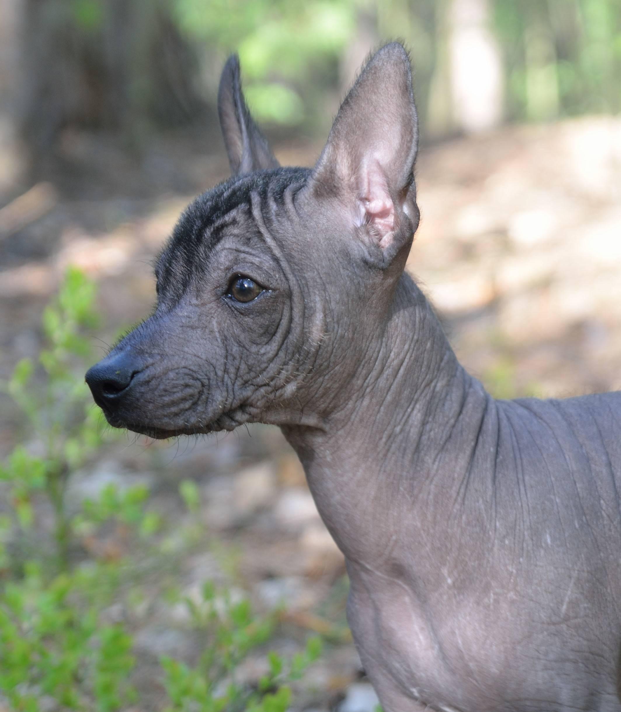 Ксолоитцкуинтли: описание породы, характер собаки и щенка, фото, цена