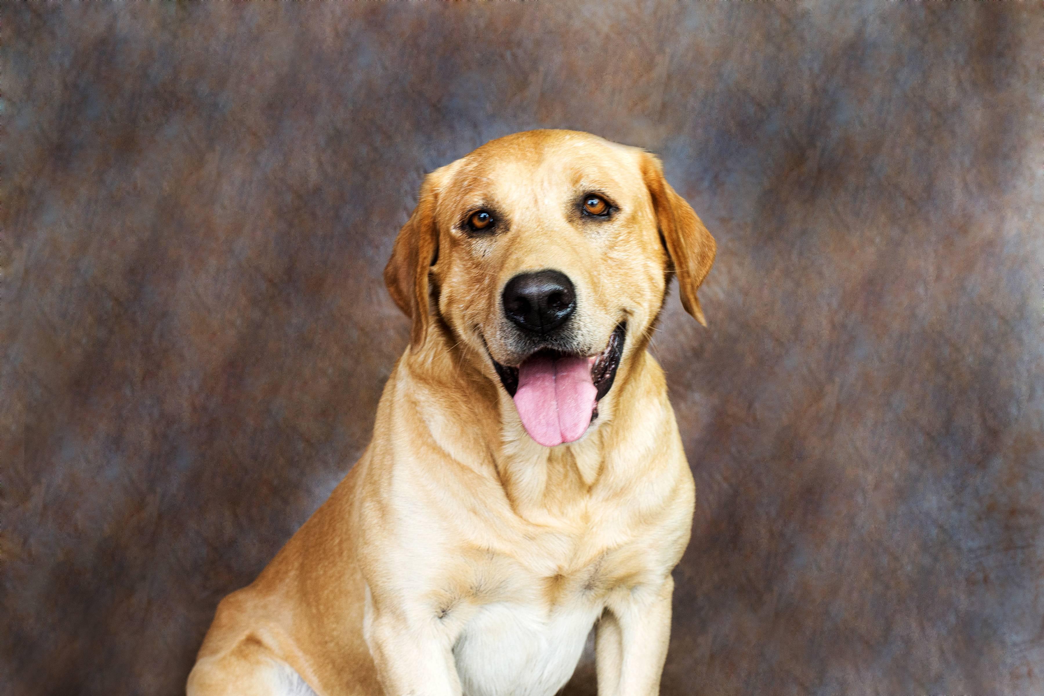 Как назвать лабрадора девочку: красивые имена для черных, белых собак и др. окрасов.