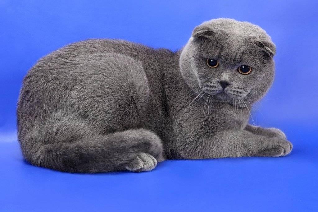"""Котёнка какой породы лучше выбрать: """"британца"""" или """"шотландца""""?"""