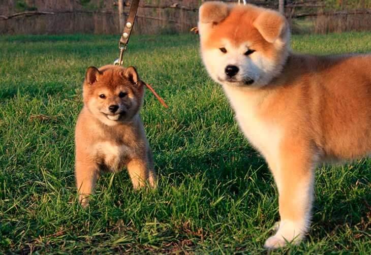 Собака сиба ину: описание породы, щенки шиба, отличия от акита.