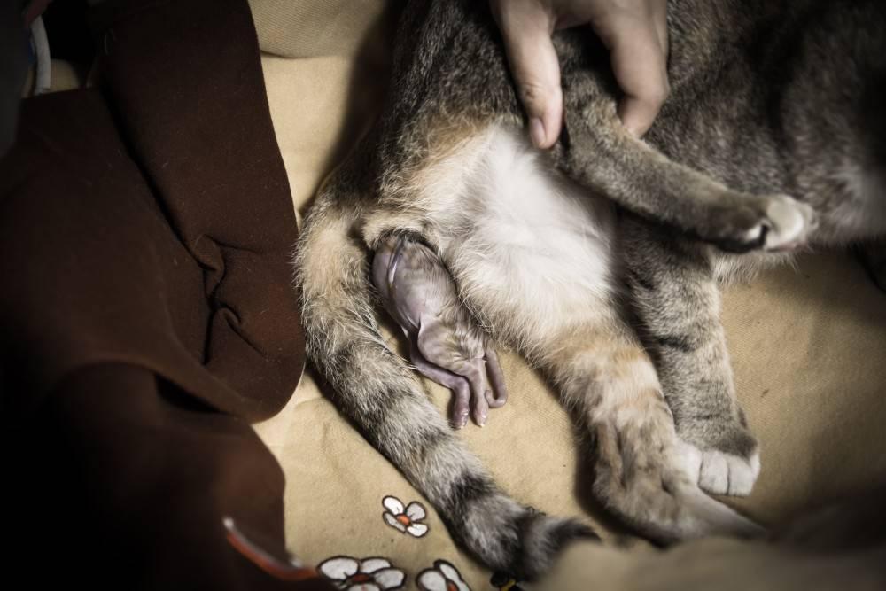 Течка у кошки: симптомы, когда начинается и сколько длится