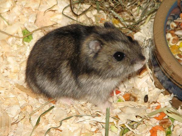 Породы маленьких хомяков и особенности ухода за ними