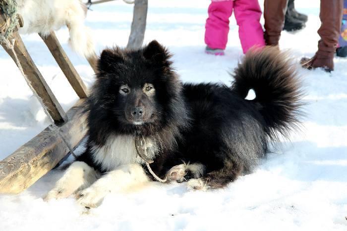 Ненецкая лайка(оленегонный шпиц) — описание, характеристика, фото   все о собаках
