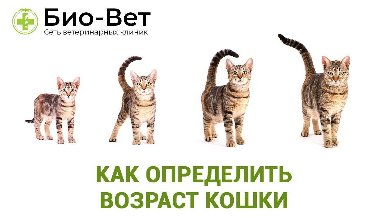 Как узнать возраст котенка: основные возрастные признаки и способы