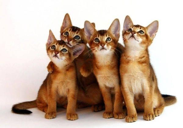 Самые умные породы кошек в мире: от сфинксов до персидских кошек.