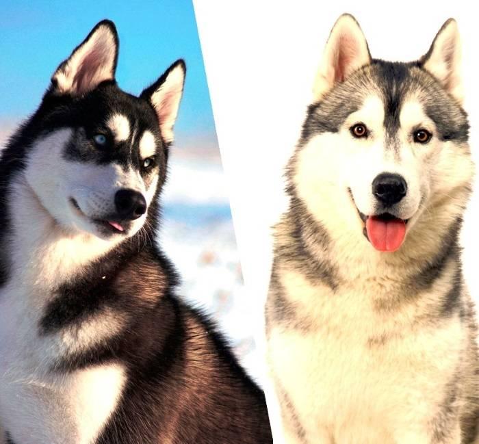 Породы собак похожие на хаски