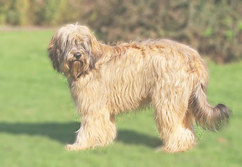 Пиренейская горная собака – описание и история возникновение породы, особенности характера и стандарты