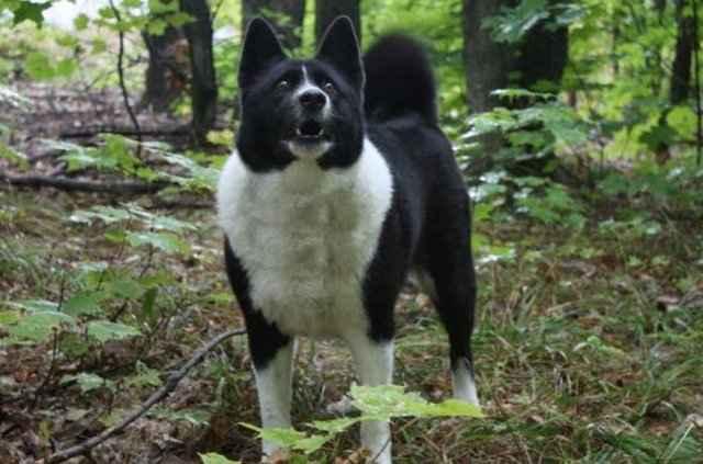 Карельская медвежья собака: описание породы с фото и видео