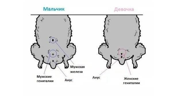 Как определить пол хомяка: внешние признаки и способы осмотра